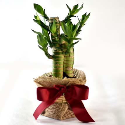Online Bamboo Plant Elegant Gift Gift Delivery In Singapore Ferns N Petals